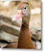 Brown Duck Portrait Metal Print