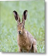 Brown Hare Metal Print