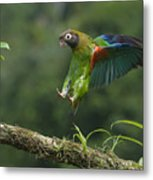 Brown-hooded Parrot Metal Print