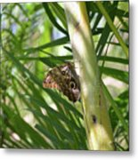Brown Morpho Butterfly Resting On A Sunny Tree  Metal Print