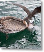 Brown Pelican And His Friend Brown Noddy Metal Print