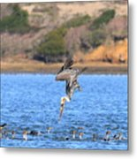 Brown Pelican Diving Metal Print
