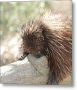 Brown Porcupine On A Fallen Log Metal Print