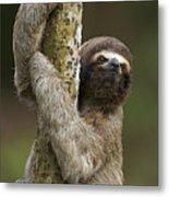 Brown-throated Three-toed Sloth Metal Print