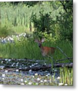 Buck In Pond Metal Print