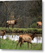 Buck In Wilderness Metal Print
