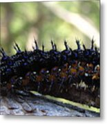 Buckeye Caterpillar Metal Print