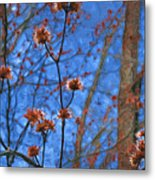 Budding Maples Metal Print