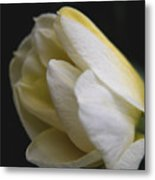 Budding Narcissus Metal Print