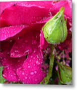 Buds And Drops Metal Print
