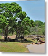 Buffalo At Hambantota Metal Print