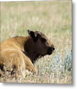 Buffalo Calf Metal Print