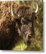 Buffalo Cow Metal Print