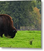 Buffalo In Spring Grass Metal Print
