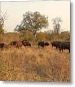 Buffalo In The Timbavati Metal Print