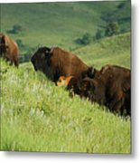 Buffalo On Hillside Metal Print