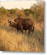 Buffalo On Safari Metal Print