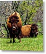 Buffalo Posing Metal Print