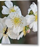 Bugaboo Apple Blossoms Metal Print