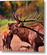 Bugling Elk In Autumn Metal Print