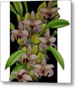 Bulbophyllum Sumatranum Metal Print