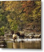 Bull And Cow Elk In Buffalo River Crossing Metal Print