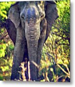 Bull Elephant Threat Metal Print