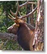 Bull Elk 2 Metal Print