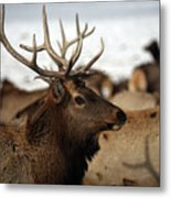 Bull Elk At Hardware Ranch Metal Print