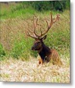 Bull Elk At Rest Metal Print