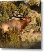 Bull Elk Bugling Among The Rocks Metal Print