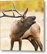 Bull Elk Bugling In The Fall Metal Print