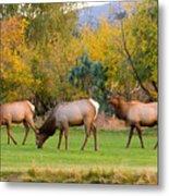 Bull Elk  Bugling With Cow Elks - Rutting Season Metal Print