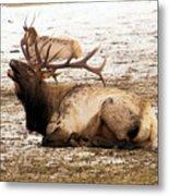 Bull Elk Calls Out Metal Print