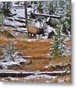 Bull Elk Feeding In Winter Metal Print