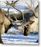 Bull Elk Fighting  Metal Print