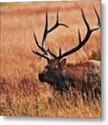 Bull Elk In A Field Metal Print