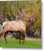 Bull Elk In Rutting Season Metal Print