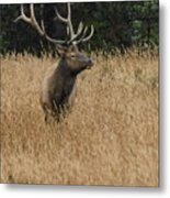 Bull Elk In Yellowstone Metal Print