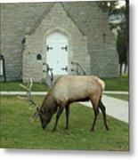 Bull Elk On The Church Lawn Metal Print