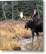 Bull Moose In Stream Metal Print by Natural Selection Bill Byrne