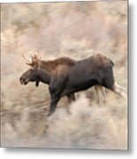 Bull Moose On The Run Metal Print
