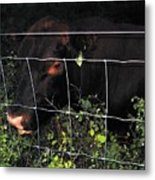 Bull Nibbling On Snowberries Metal Print