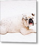 Bulldog Laying Metal Print