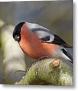 Bullfinch Metal Print