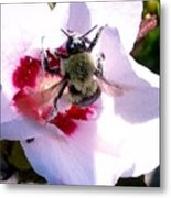 Bumble Bee Making His Escape From Hibiscus Flower Metal Print
