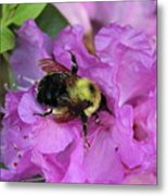 Bumble Bee On Rhododendron Blossoms Metal Print