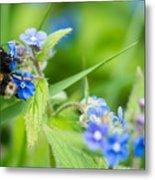 Bumble Bee On Siberian Bugloss Metal Print