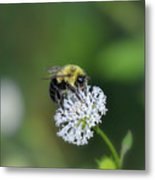 Bumble Bee On White Wild Flower On Banks Of Tennessee River At Shiloh National Military Park Metal Print