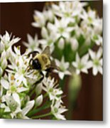 Bumble Bee On Wild Onion Flower Metal Print